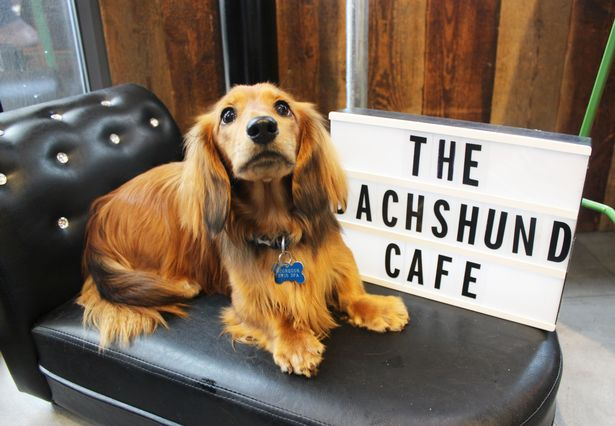 Dogilike.com :: น่ารักเบอร์แรง! ชวนดูคาเฟ่น้องหมาดัชชุนสุดคิวท์ในอังกฤษ