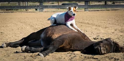 Dogilike.com :: ชวนดู! เจ้า Dally น้องหมาตัวเดียวในโลกที่สามารถขี่ม้าได้