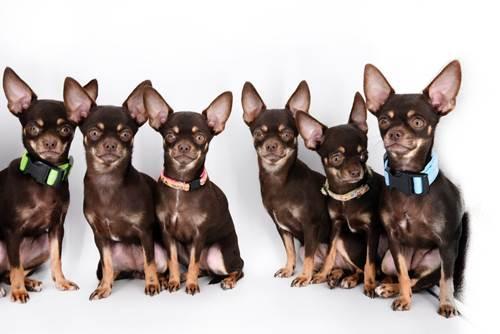 Dogilike.com :: ทำลายสถิติโลก! เผยโฉม เจ้า Milly ชิวาวาที่ถูกโคลนมากกว่า 49 ครั้ง