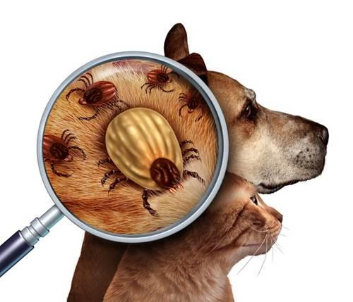 Dogilike.com :: ไขข้อข้องใจ ทำไมเห็บหมัดไม่หมดไปจากบ้าน !!