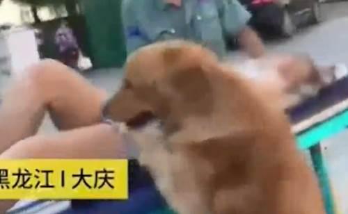 Dogilike.com :: หมาโกลเด้นฯ ห่วงเจ้าของเป็นลม ตามติดไม่ห่างขึ้นรถพยาบาลไปด้วย!