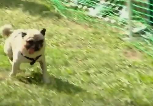 Dogilike.com :: เยอรมนีจัดแข่ง ปั๊กวิ่งเร็วสุด แชมป์เก่าฟอร์มดีคว้าถ้วยแห่งชัยชนะ!