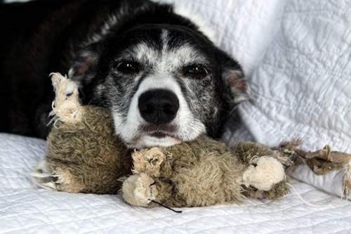 Dogilike.com :: แชร์เก็บไว้เลย! วิธีดูแลสุนัขแก่มีแผลกดทับ เดินไม่ได้