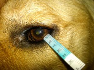 Dogilike.com :: น้ำตาน้องหมา บอกปัญหาสุขภาพอะไรบ้าง?