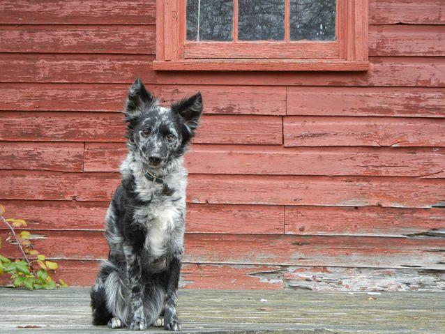 Dogilike.com :: 10 สุนัขพันธุ์เล็กหายาก (สุดแปลก) ที่อาจไม่เคยได้ยินชื่อมาก่อน