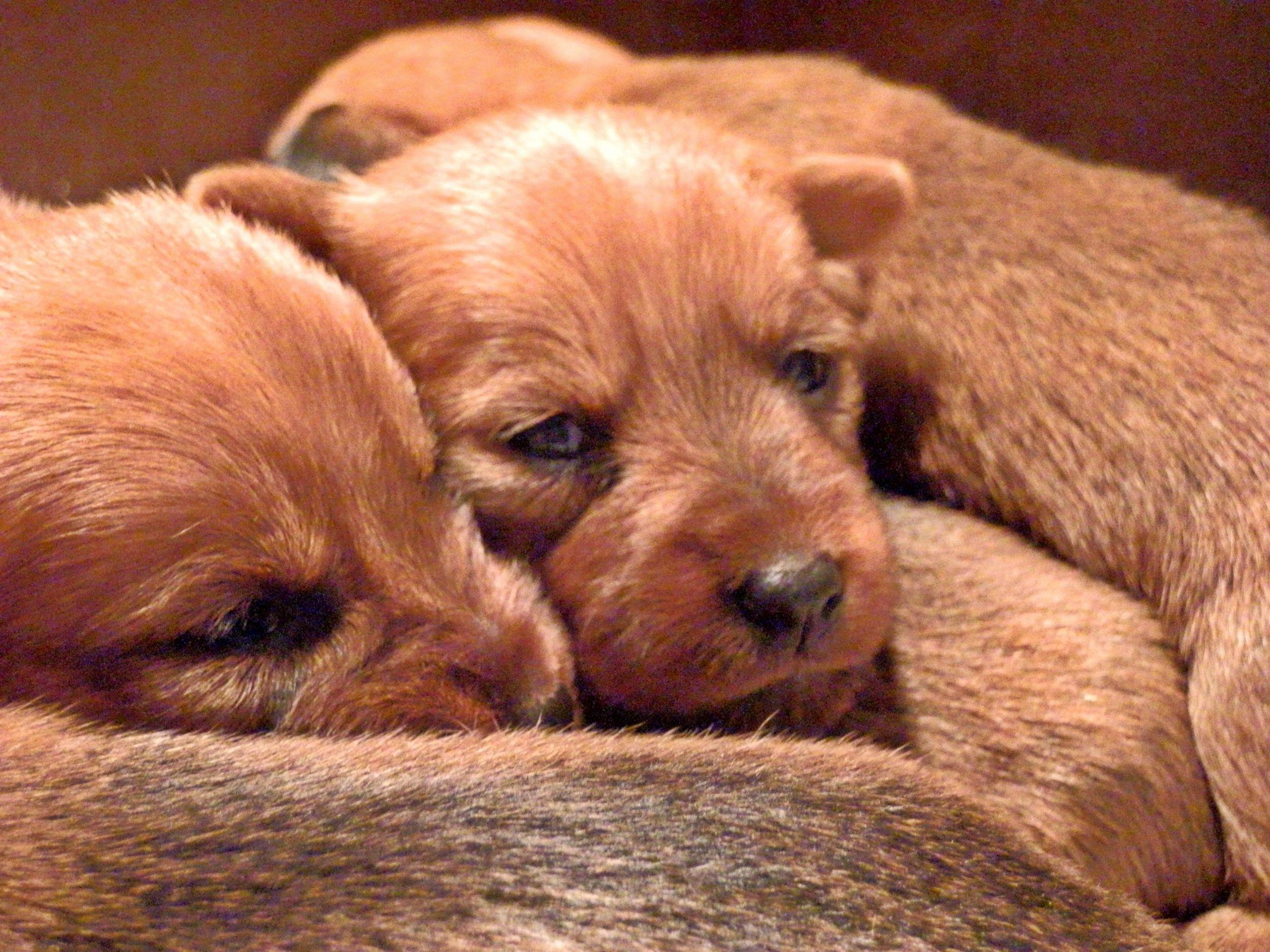 Dogilike.com :: ภัยเงียบถึงตาย!! ภาวะน้ำตาลในกระแสเลือดต่ำในลูกสุนัข