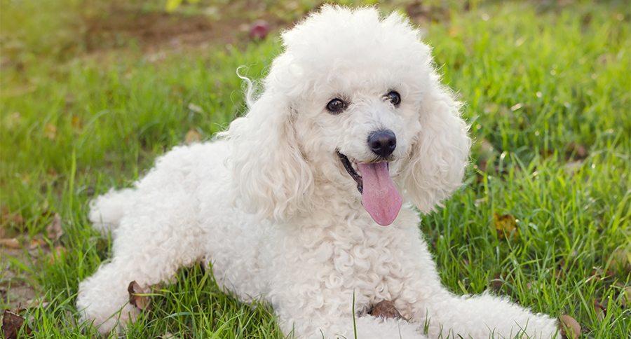 Dogilike.com :: 5 สุนัขพันธุ์ที่ถูกลืม!! ในบ้านเรา