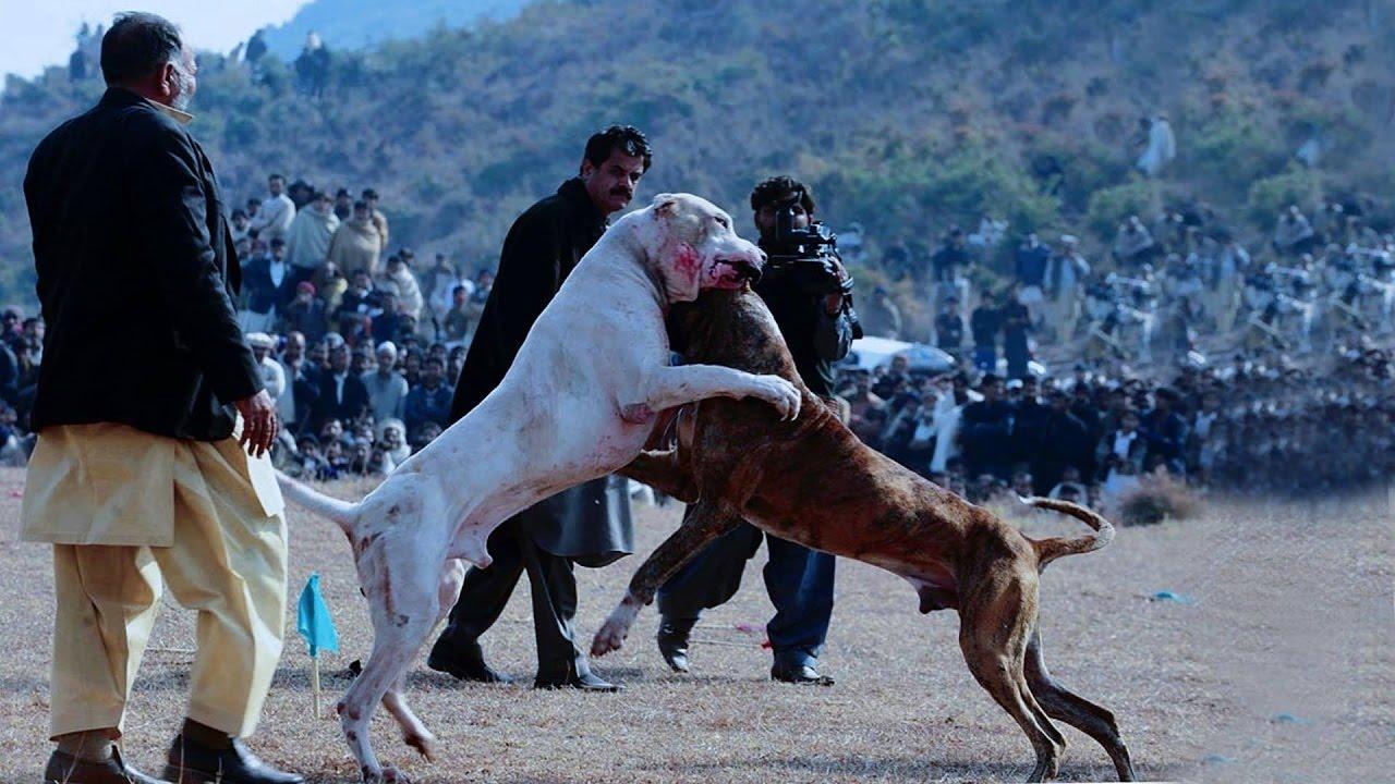 Dogilike.com :: ทำความรู้จักกับ 5 น้องหมาพันธุ์ควบคุมพิเศษ