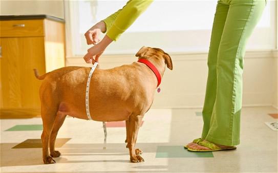Dogilike.com :: หมาอ้วน...เป็นอะไรได้มากกว่าโรคอ้วน ?