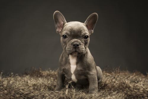 Dogilike.com :: เคยเห็นไหม เฟรนช์บูลด็อกมีขนยาว!! แบบนี้พันธุ์แท้หรือเทียม