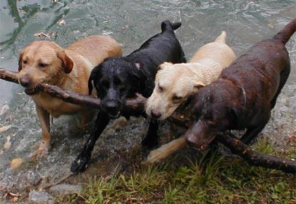 Dogilike.com :: ผลวิจัยชี้...สุนัขขนสีไหนอายุสั้นที่สุด