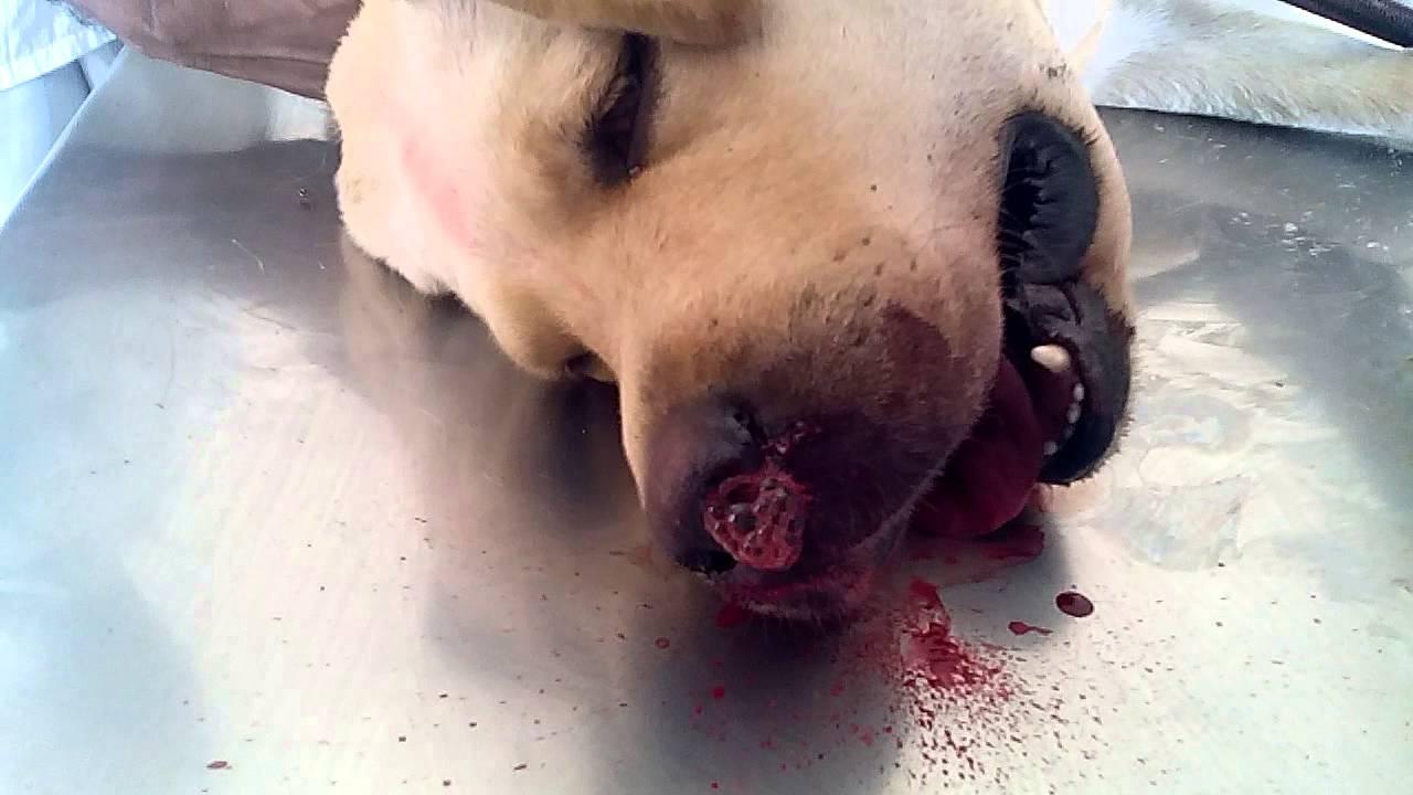 Dogilike.com :: เจาะลึก!! สาเหตุที่น้องหมาเลือดกำเดาไหล