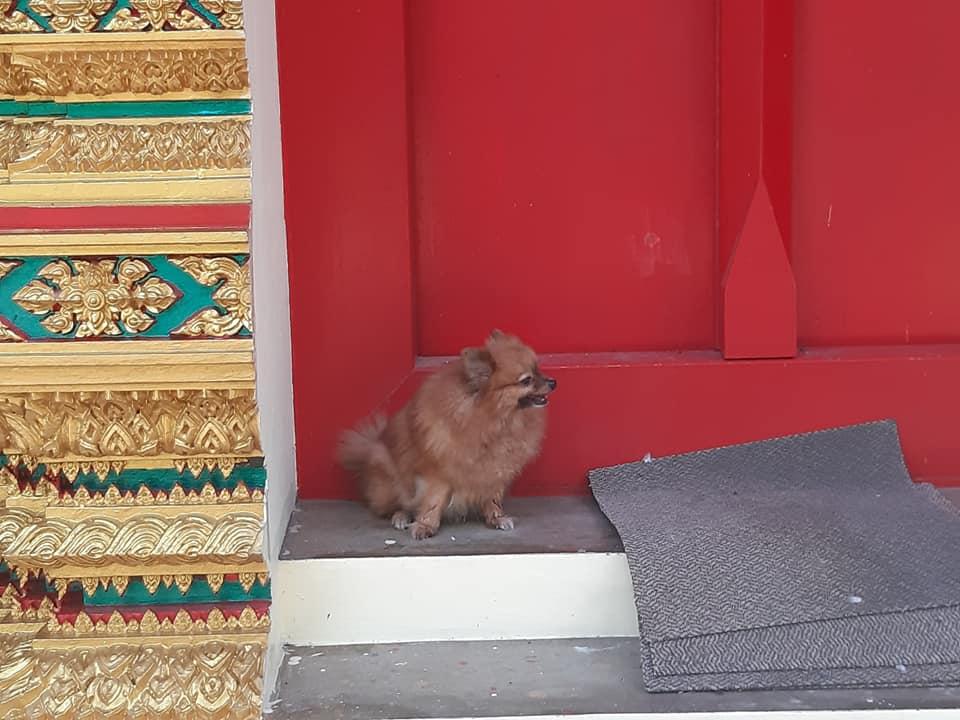 Dogilike.com :: ปอมตัวน้อยผลัดหลงกับเจ้าของ นั่งรออยู่หน้าวัด หวังเจ้าของมารับกลับบ้าน