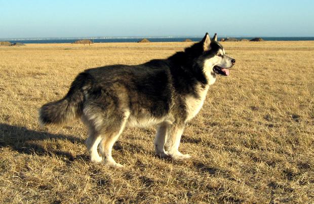 Dogilike.com :: จัดอันดับ 5 สายพันธุ์น้องหมา หน้าร้อนนี้เสี่ยงฮีทสโตรก