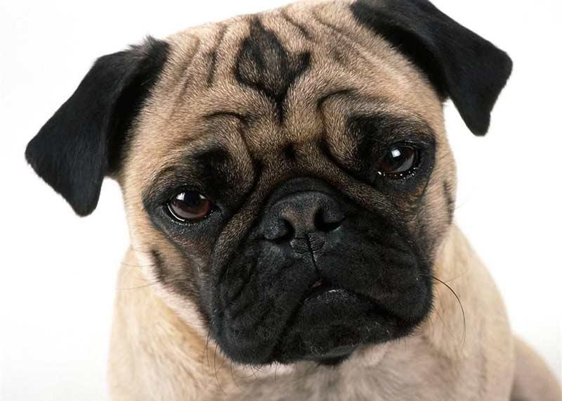 Dogilike.com :: จัดอันดับ 5 สายพันธุ์น้องหมาหน้าเหวี่ยง