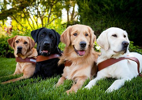 Dogilike.com :: ไม่ใช่ง่าย ๆ ... ตามติดชีวิตสีขากว่าจะได้เป็น น้องหมานำทาง