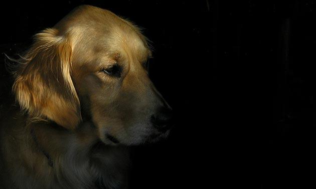 Dogilike.com :: 5 สิ่งที่ควรระวัง! หากพาน้องหมาไปเคาท์ดาวน์ในคืนปีใหม่