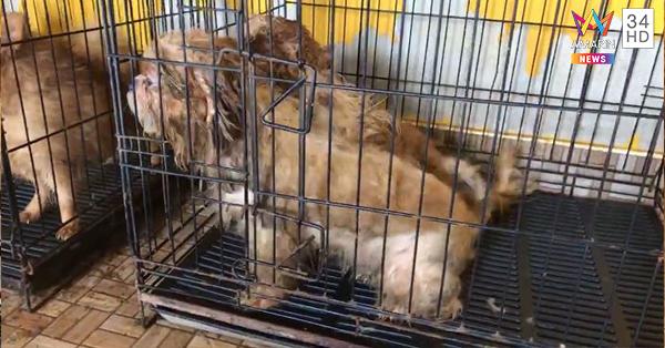 Dogilike.com :: สุดสลด! บุกจับฟาร์มค้าสุนัขเถื่อน พบน้องหมาป่วยหลายตัว