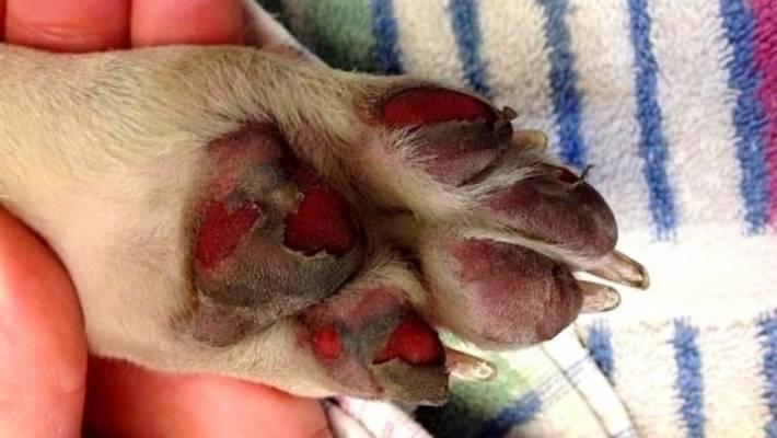 Dogilike.com :: ร้อนจนไหม้! ... ระวังอาการ Sunburn , Paw burn ทำผิว - เท้า น้องหมาพุพอง