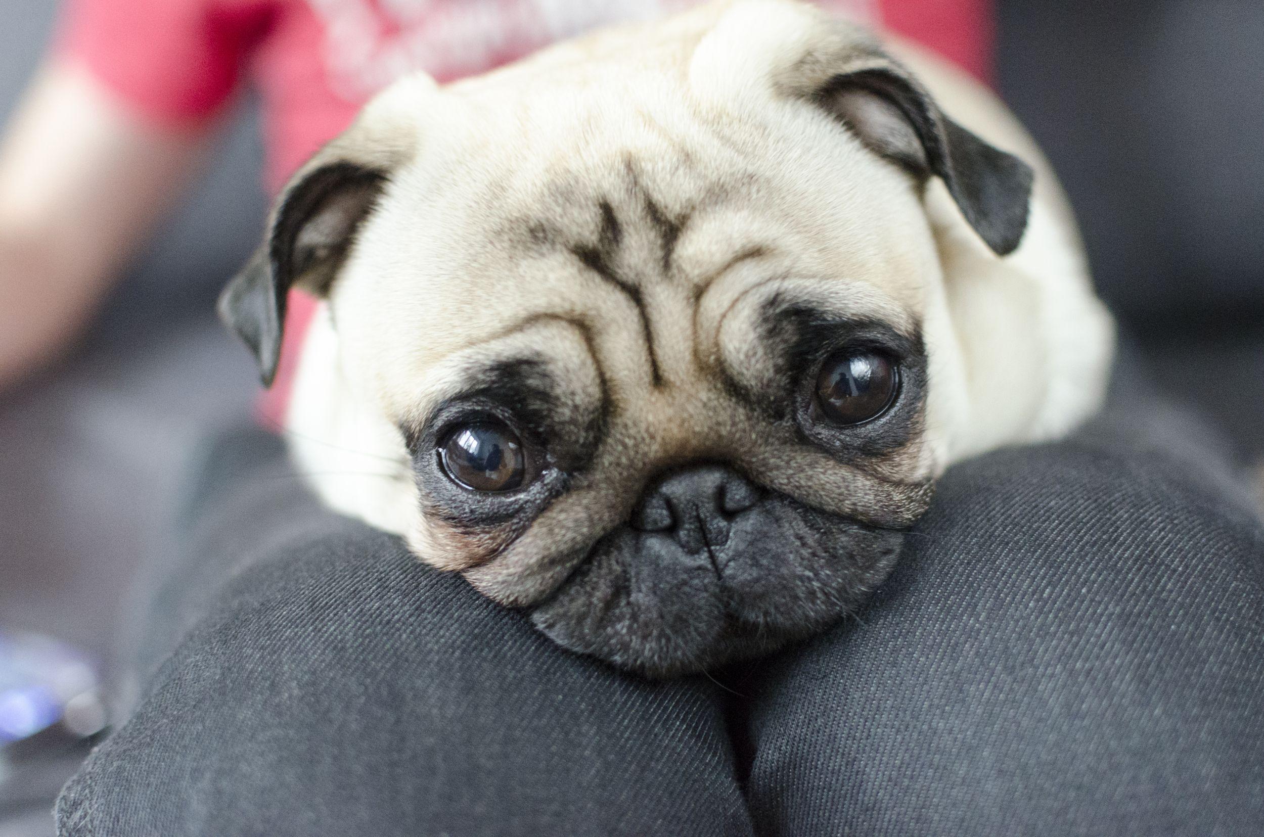 Dogilike.com :: รู้ทันน้องหมาจอมโกหก ... หลอกทีไร เจ้าของเชื่อทุกที!