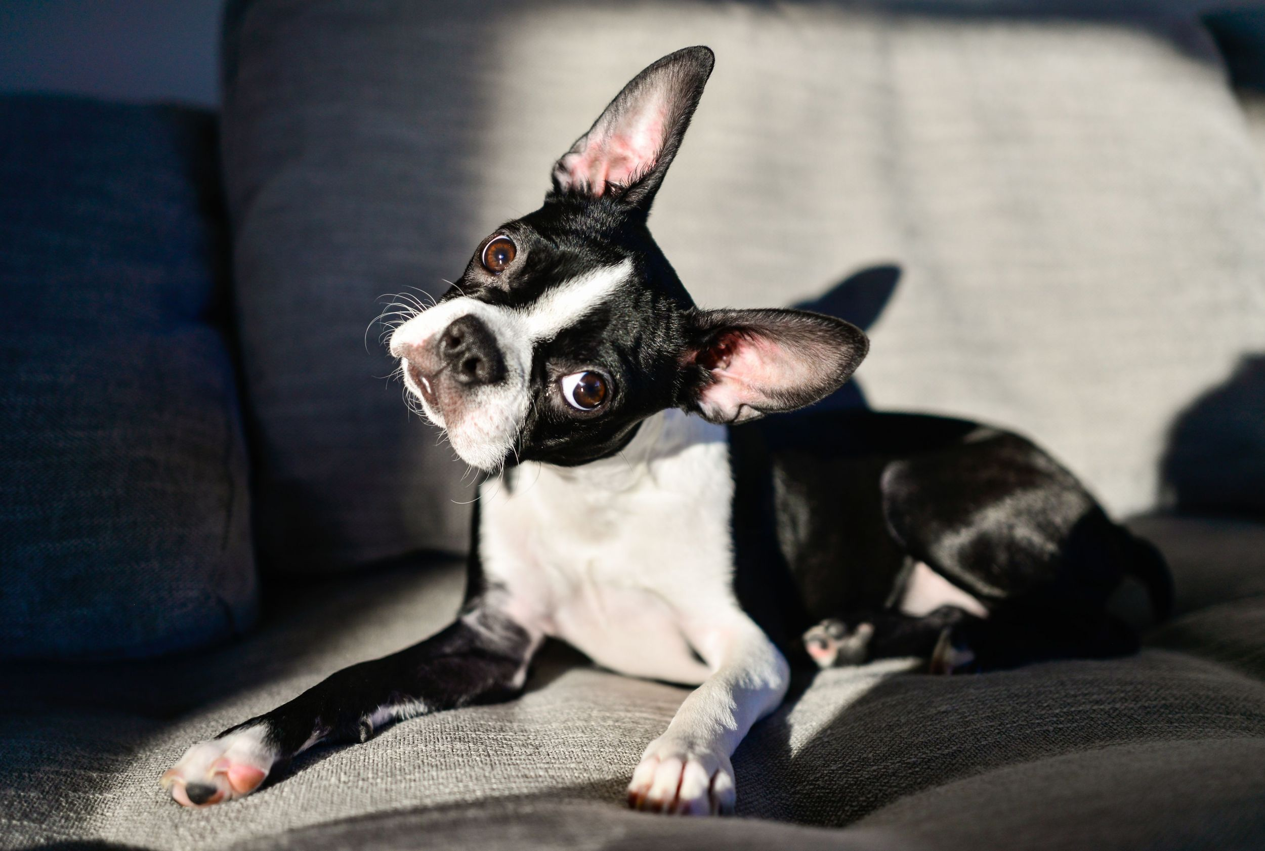 Dogilike.com :: สงสัยป่ะ ... น้องหมาเอียงหัวฟังเราพูด แปลว่าเขาฟังรู้เรื่องใช่รึเปล่านะ