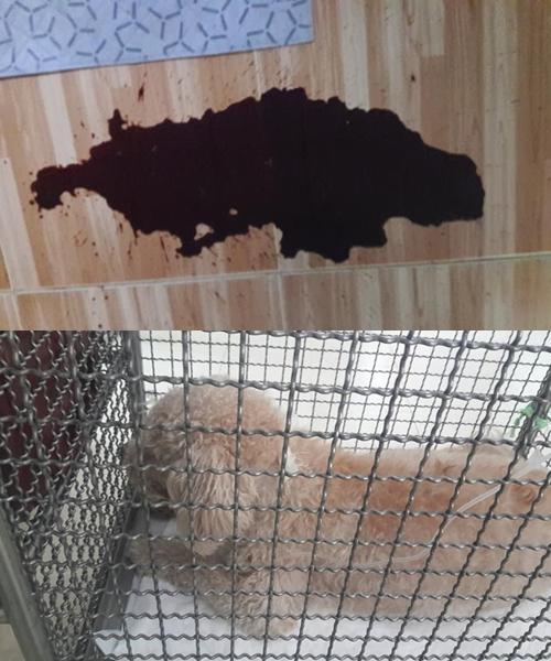 Dogilike.com :: เตือนภัย! กระดูกหนังวัวอุดตันลำไส้ ทำน้องหมา อ้วก-ถ่ายเป็นเลือด อาการโคม่า!!