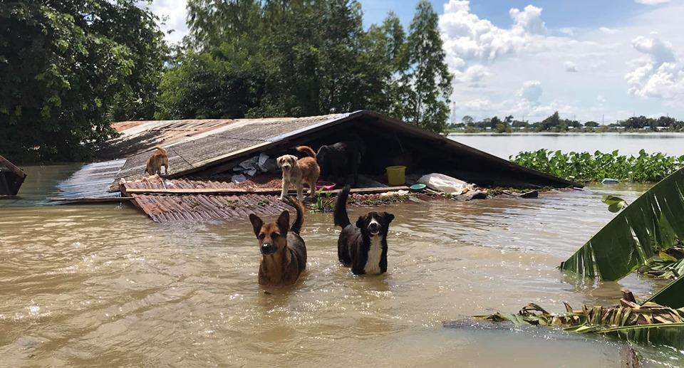 Dogilike.com :: รวมช่องทางช่วยเหลือ ผู้ประสบภัยน้ำท่วมและหมาแมว จ. อุบลฯ