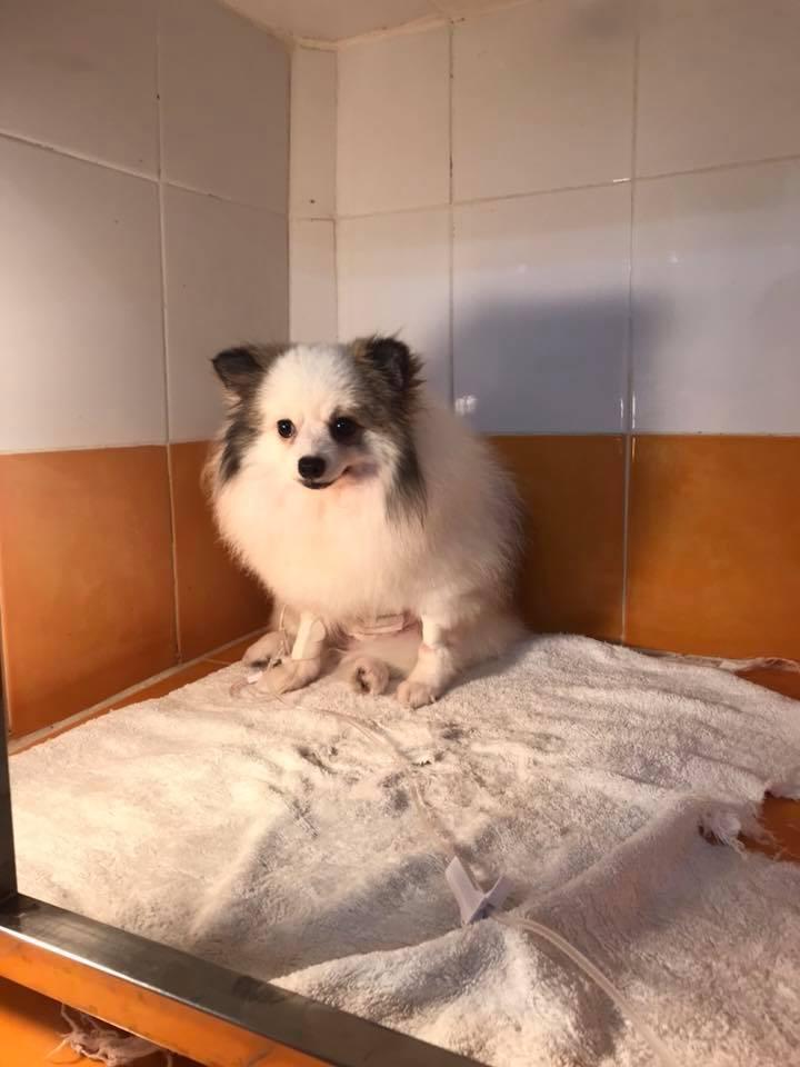 Dogilike.com :: แชร์ประสบการณ์สุดอันตราย! ขนมหนังวัวอัดแท่งสี ๆ ทำน้องหมาลำไส้อุดตัน เกือบโคม่า!!
