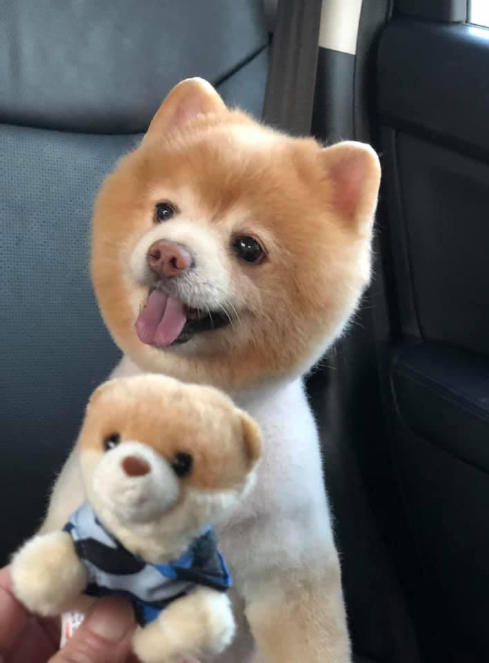 Dogilike.com :: มาดูทรงขนรับหน้าร้อนสุดน่ารักของเหล่าน้องหมา
