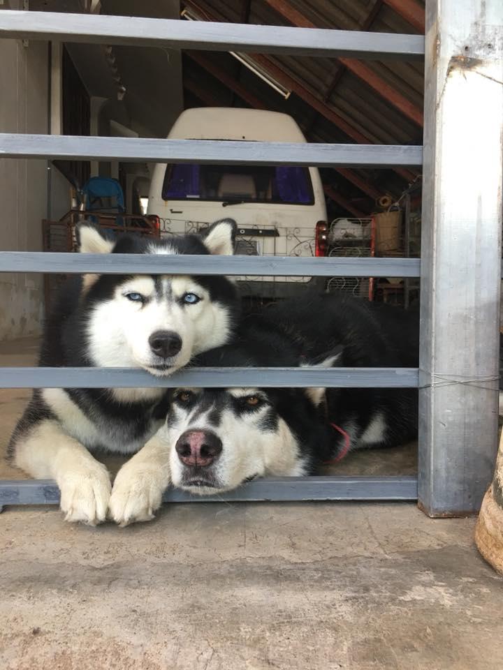 Dogilike.com :: สัมภาษณ์พิเศษ ... ภาระ แอนด์เฟรนด์ เดอะแก็งไซบีเรียนสุดป่วน