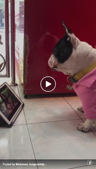 Dogilike.com :: ฮาไปอีก!! เพลงสคูบี้ดู ของแน็ก ชาลี จี๊ดโดนใจทำเอาน้องหมาร้องตาม!!
