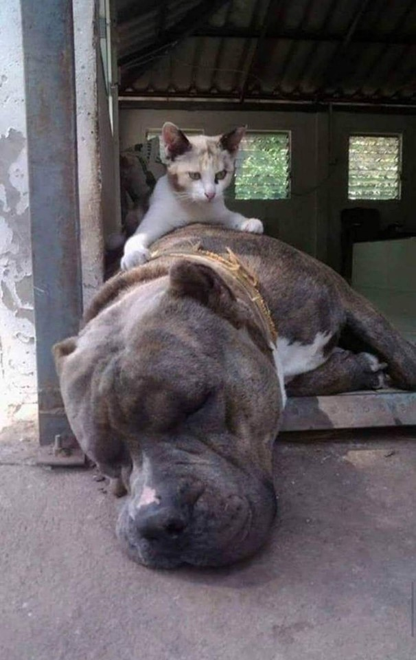 Dogilike.com :: อบอุ่นเหลือเกิน พิทบูลใจดีช่วยดูแลเหล่าลูกแมวที่ถูกทิ้ง