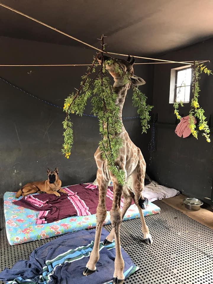 Dogilike.com :: ชาวเน็ตใจละลาย ... ภาพความน่ารักหมาใจดีดูแลยีราฟกำพร้าให้คลายเหงา