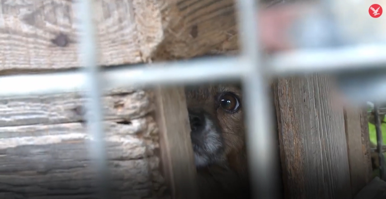 Dogilike.com :: เจ้าหน้าที่บุกช่วยหมา - หมาจิ้งจอก จากฟาร์ม หวิดถูกจับถลกหนัง!!