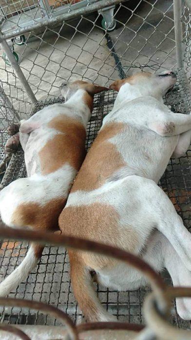 Dogilike.com :: คนรักสัตว์ร้องสื่อ เทศบาลปากเกร็ดยิงยาสลบหมา 3 วันยังไม่ฟื้น