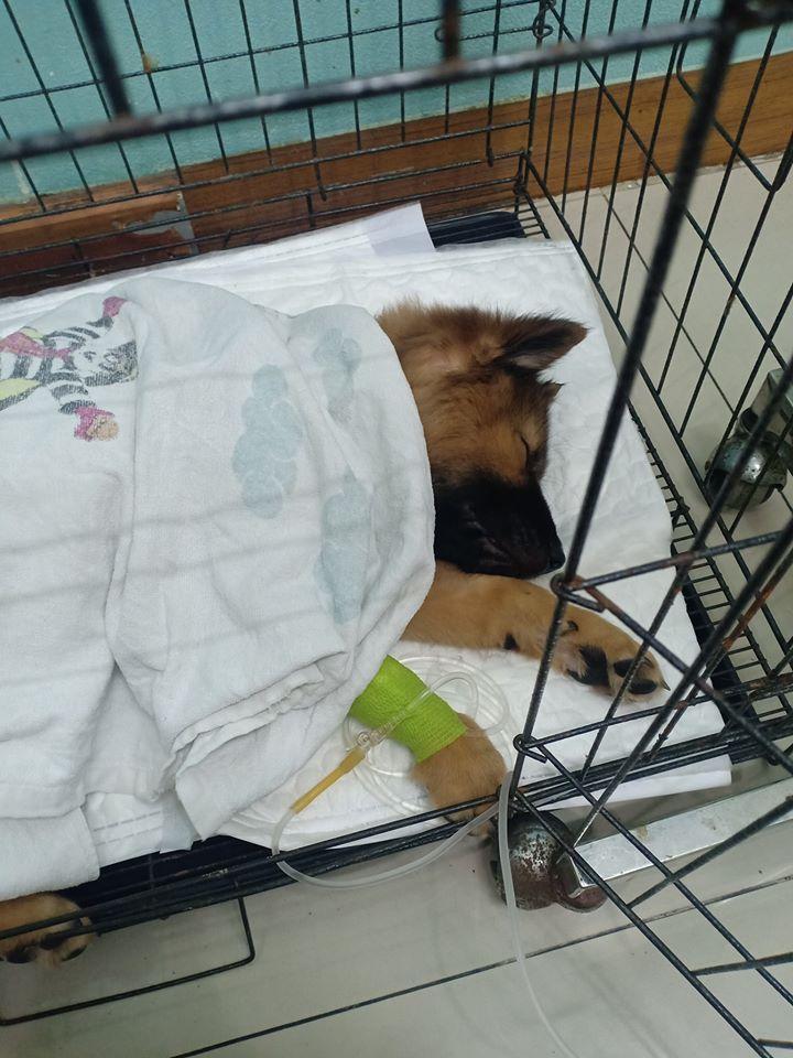 Dogilike.com :: อุทาหรณ์ น้องหมาโขมยยาโรคซึมเศร้าเจ้าของไปกิน อาการโคม่า!!