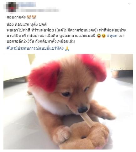 Dogilike.com :: เตือนภัยคนชอบทำสีขนให้น้องหมา ... พาน้องปอมไปทำสี - แพ้สีจนหูขาด!