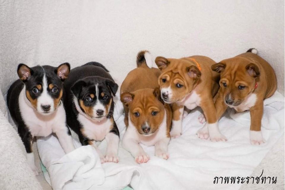 Dogilike.com :: เผยภาพ ครอบครัวคุณทองแดง จากการผสมเทียมน้ำเชื้อแช่แข็งลูกคุณทองแดง