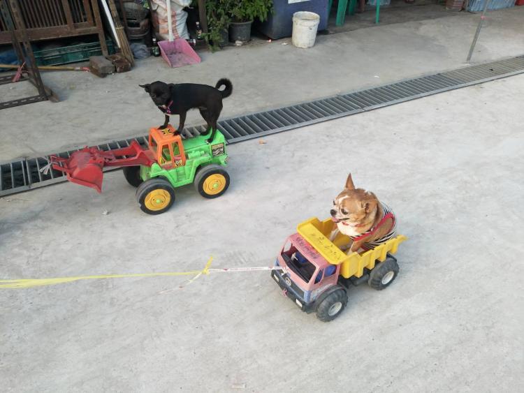 Dogilike.com :: น่ารักมาก 2 ชิวาวาอ้อนเจ้าของให้พานั่งรถเล่น ไม่พาเที่ยวนอนไม่หลับ