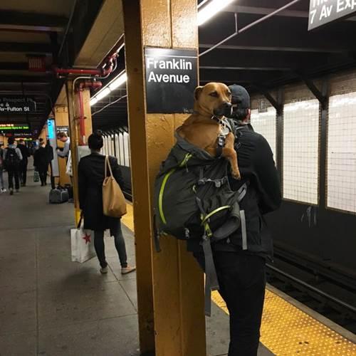 Dogilike.com :: รถไฟใต้ดินมะกันมีกฏสุนัขต้องอยู่ในกระเป๋า เจ้าของสุนัขเลยทำแบบนี้!