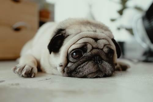 Dogilike.com :: How to เบิร์นไขมันน้องหมาอ้วนอย่างไรให้กลับมาหุ่นดี !