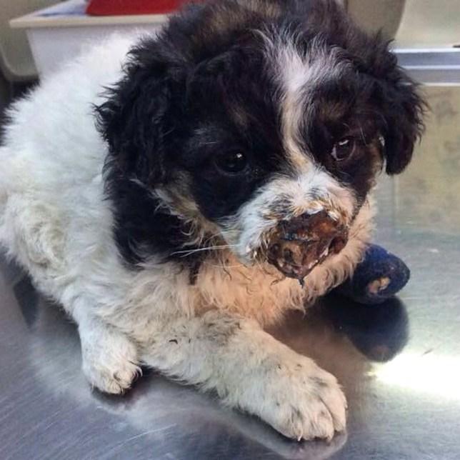 Dogilike.com :: สุนัขไร้จมูกรอดตาย ได้เจ้าของใหม่ที่บอกว่า มันนี่แหละสมบูรณ์แบบ!