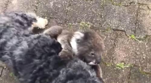 Dogilike.com :: เจ้าของอึ้งปล่อยตูบไปเดินเล่น กลับมาอีกทีพกลูกโคอาล่ามาด้วย !