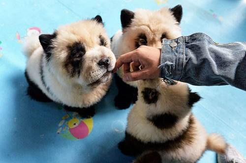 Dogilike.com :: ชาวเน็ตวิจารณ์เดือด! จีนเปิดคาเฟ่สุนัข จับลูกเชาเชาย้อมขนเป็นแพนด้า