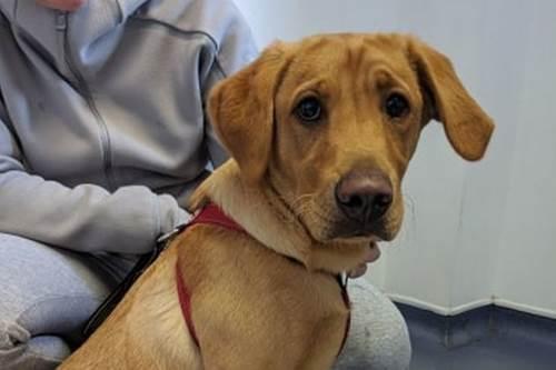 Dogilike.com :: ลาบราดอร์ตัวแสบทำหน้าสำนึกผิด หลังกลืนแหวนหมั้นเจ้าของลงท้อง !