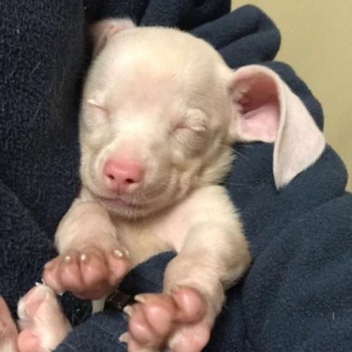Dogilike.com :: รู้จัก เจ้า Piglet น้องหมาผู้สร้างแรงบันดาลใจให้กับเด็กๆ ไปทั่วโลก !