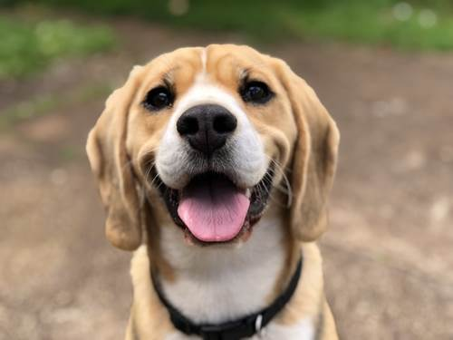 Dogilike.com :: จัดอันดับ 5 สายพันธุ์น้องหมาดื้อ เอาแต่ใจ ต้องคอยฝึก !