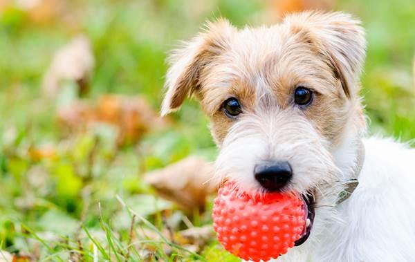 Dogilike.com :: 4 Tip เลือกของเล่นอย่างไรให้ปลอดภัยต่อลูกสุนัข !
