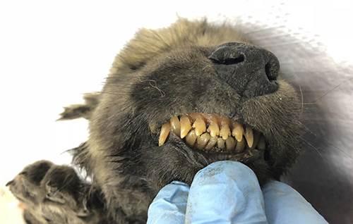 Dogilike.com :: ซากหมาน้อย 18,000 ปี ชี้รอยต่อวิวัฒนาการหมาป่าสู่หมาบ้าน !