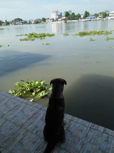 Dogilike.com :: ตูบตกเรือโยงยังนั่งรอเจ้าของ ชาวเน็ตสงสารทำป้ายไวนิลประกาศตามหา!